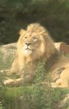 Lion Around. Lion in a soft glow - power and peace simultaneously stock image