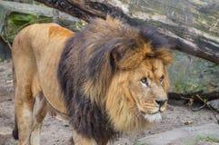 Lion At The Artis Zoo masculin à Amsterdam le 2018 néerlandais photos libres de droits