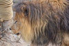 Lion At The Artis Zoo masculin Amsterdam le 2018 néerlandais photographie stock libre de droits