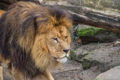 Lion At The Artis Zoo masculino Amsterdam el 2018 holandés fotografía de archivo libre de regalías