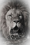 Lion. An artistic, black and white of a lion stock photos