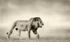 Lion. Artistic Black and White Image of an African Lion Royalty Free Stock Photography