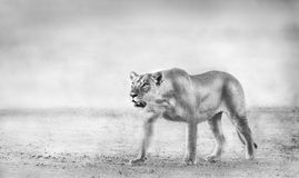 Lion. Artistic Black and White Image of an African Lion Hunting Stock Photo