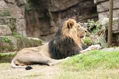 Lion asiatique mâle (persica de Lion de Panthera) Photo libre de droits