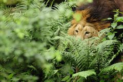 Lion asiatique (persica de Lion de Panthera) Images libres de droits