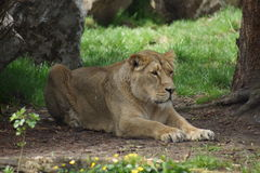 Lion asiatique - persica de Lion de Panthera Photo stock