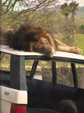 Lion Asleep. Sleeping lion on an old jeep having sweet dreams Royalty Free Stock Photo