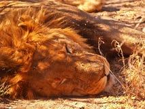 Lion asleep closeup Stock Images