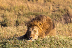 Lion. Asleep king of beasts. Masai Mara. Royalty Free Stock Photo