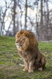 Lion At The Zoo In Warsaw Stock Photo