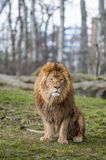 Lion At The Zoo In Warsaw Royalty Free Stock Photography