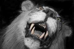 Lion attack in the night Stock Photography