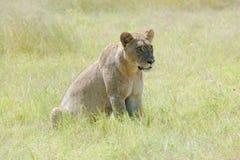 Lion attentif photographie stock libre de droits