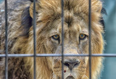 Lion at attention Royalty Free Stock Photos