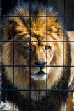Lion at attention. Something has the attention of this large lion, as he stares from his cage at a local zoo Royalty Free Stock Images