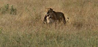 Lion attrapant un dik-dik Image libre de droits