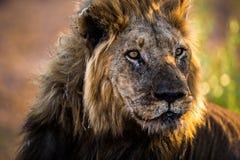 Lion au coucher du soleil Images libres de droits