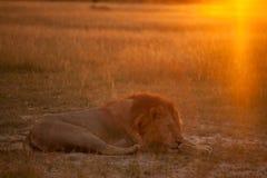 Lion au lever de soleil Photos stock