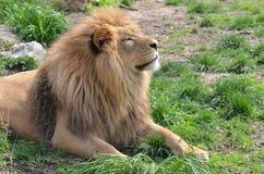 Lion au soleil Images libres de droits