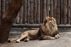Lion au zoo Photo stock