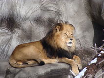 Lion au zoo de Detroit Photo stock