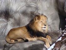 Lion au zoo de Detroit photo stock
