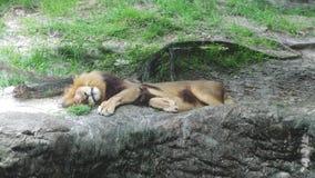 Lion autour Photographie stock
