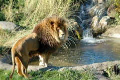Lion avec la cascade à écriture ligne par ligne Photographie stock
