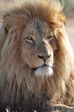 Lion avec la grande crinière Photo libre de droits