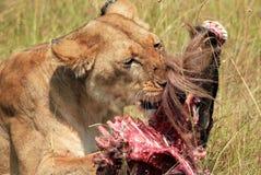 Lion avec la proie Image stock