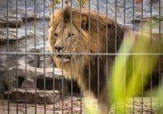 Lion avec une crinière dans une cage photographie stock libre de droits