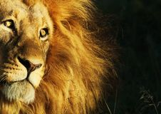 Lion Awaiting Darkness Stock Photography