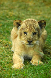 Lion baby Stock Images