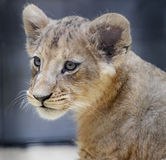 Lion baby Stock Photo