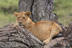 Lion baby Royalty Free Stock Images