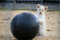 Lion baby Royalty Free Stock Photo