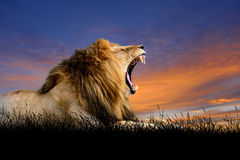 Lion on the background of sunset sky Royalty Free Stock Photography