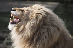 Lion baring teeth Royalty Free Stock Photos