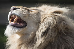 Lion baring teeth Royalty Free Stock Images
