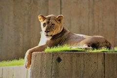 Lion basking in the morning sun. At the Washington DC Zoo Stock Photos