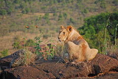 Lion Basking on a Rock Stock Photography
