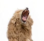 Lion Bearing Teeth roar. Lion roaring on white Backdrop stock photo