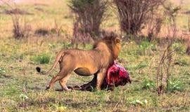 The lion bears prey in the bush. Kenya Stock Photo