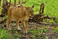 Lion in the beautiful african nature. Wild animal, african wildlife, this is africa, lions family pack, nature habitat Stock Image
