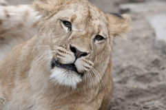 Lion. Beautiful lion in a animal zoo the Netherlands Stock Photos