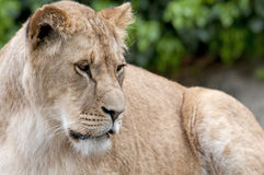 Lion. Beautiful lion in a animal zoo the Netherlands Royalty Free Stock Image