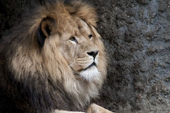 Lion. Beautiful lion in a animal zoo the Netherlands Stock Photo