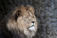 Lion. Beautiful lion in a animal zoo the Netherlands Royalty Free Stock Photos
