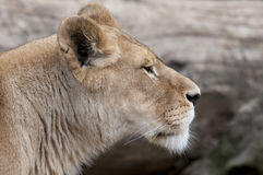 Lion. Beautiful lion in a animal zoo the Netherlands Royalty Free Stock Photo