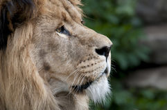 Lion. Beautiful lion in a animal zoo the Netherlands Stock Image